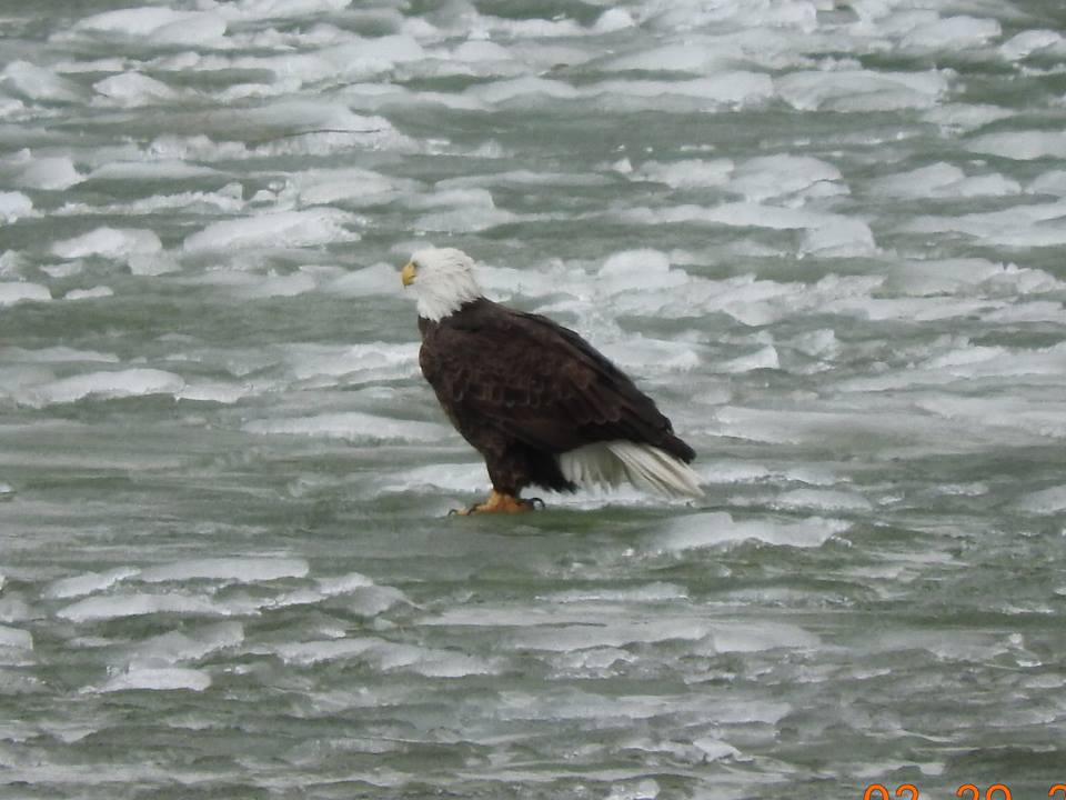 eagle standing in icy water